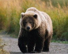 Стрежевчане видели медведей
