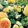 Как вырастить красивые гладиолусы, розы и лилии
