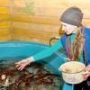 В калтайской ферме разводят … сомов