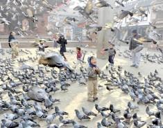 Голуби: птицы мира или летающие крысы?