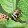 У колорадского жука проснулся аппетит