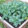 Секреты брокколи: отрассады до урожая