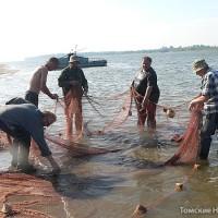 На стреж-песках Оби (час езды по воде от райцентра) обосновалась первая бригада Парабельского рыбозавода. Рыбаки осваивают тоневой участок – для траления (очистки) забрасывают 150-метровый невод. Глядя на их работу, удивляешься: это тот редкий случай, куда технический прогресс еще только пробирается. С малым неводом мужики управляются по старинке – вручную. Со слов рыбаков, Обь щедра, в результате одного притонения можно поймать до 150–200 кг рыбы. Большим 600-метровым неводом (его возвращают на сушу при помощи лебедки) добывают за раз 300–500 кг рыбы. Попадается нельма, муксун, стерлядь, не говоря уже о менее благородных породах