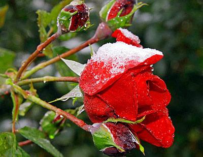Плетущиеся розы перед укрытием на зиму следует подрезать – удалить все сухие побеги, затем пригнуть к земле и накрыть лапником