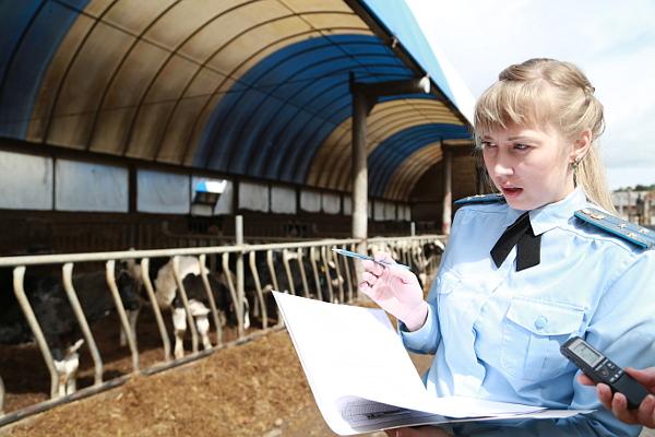 пристав и коровы
