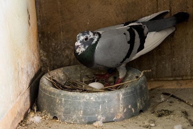 Родительские обязанности голубь и голубка делят поровну: сидят на яйцах по очереди