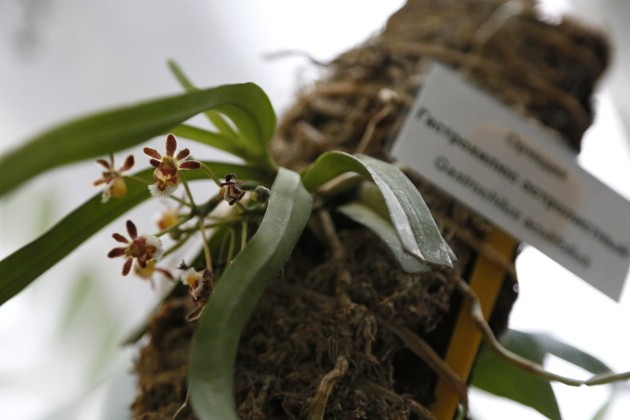 Орхидея из Непала