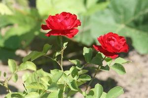 rose-1252004_960_720