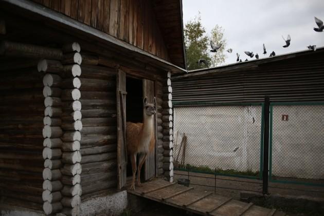 лама в домике