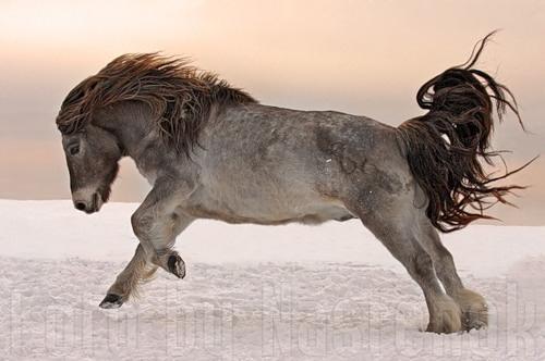 лошадь якутская